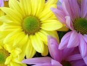 Цветочный трипс
